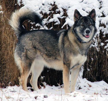 Alaskan Shepherd